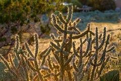 Épines rougeoyantes de cactus Photos stock