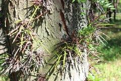 Épines sur l'arbre du sophora Photos stock