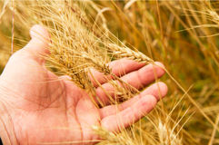 Épis de blé à disposition Photographie stock