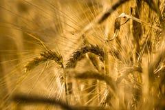 Épis de blé photos libres de droits