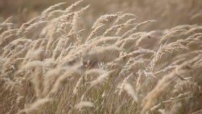 Épis de blé clips vidéos