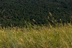 Épis de blé balançant dans le vent sur la montagne Photos stock
