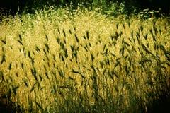 épis de blé, dans le contre-jour, été, Sicile Photo stock