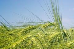 Épis de blé de rotation sur le fond d'un ciel clair et bleu photos libres de droits