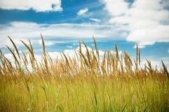 Épis de blé sur un fond de ciel nuageux Images libres de droits