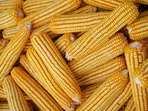 Épis de maïs Image libre de droits