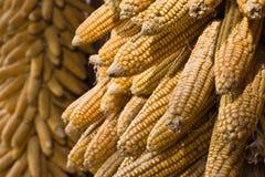 Épis de maïs d'or s'arrêtant pour sécher (horizontal) image libre de droits