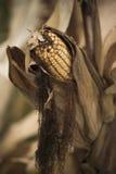 Épis de maïs dans le domaine Photo libre de droits