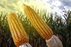 Épis de maïs dans le domaine planté Images stock