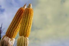 Épis de maïs dans le domaine planté Photos stock