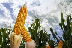 Épis de maïs dans le domaine planté Photographie stock