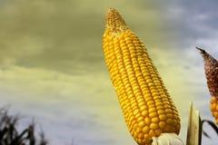 Épis de maïs dans le domaine planté Photos libres de droits