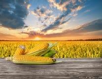 Épis de maïs mûrs épluchés contre le champ de maïs photographie stock libre de droits