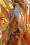 Épis de maïs secs Photo libre de droits