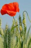Épis de pavot et de blé Photographie stock