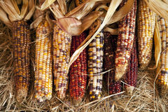 Épis de Veille de la toussaint d'action de grâces de blé Photos stock