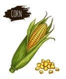 Épis et grain de maïs mûrs d'isolement tirés par la main avec le label illustration libre de droits