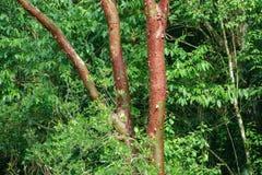 Épluchage de l'écorce de l'arbre de simaruba de Bursera photo libre de droits