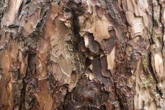 Épluchant, fond texturisé de vieil arbre criqué Fond en bois image libre de droits