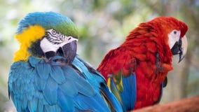 Épluchez des perroquets photos libres de droits