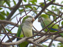 Épluchez des perroquets Perroquets verts Couples des perroquets Photo libre de droits