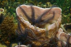 Éponge de mer colonisée par les étoiles fragiles des Caraïbes Photos libres de droits