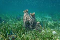 Éponge géante de baril d'espèce marine de mer des Caraïbes Photographie stock