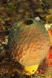 Éponge jaune de tube - Bonaire, Antilles néerlandaises Photo stock