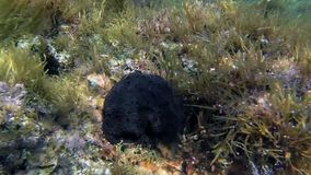 Éponge noire sur le récif rocheux banque de vidéos