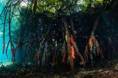 Éponges colorées sur des racines d'appui vertical en Raja Ampat Mangrove Photo stock