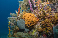 Éponges de mer Image libre de droits