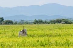 Épouvantail dans le riz classé photos stock