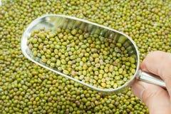 Épuisette des haricots verts Photo stock