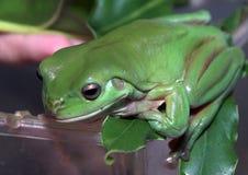 Équilibre de grenouille images libres de droits