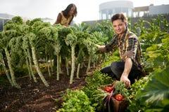 Équipe amicale moissonnant les légumes frais du jardin de serre chaude de dessus de toit et prévoyant la saison de récolte Images stock
