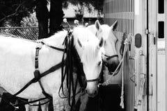 Équipe blanche de cheval de trait Photos libres de droits