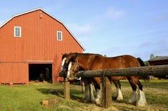 Équipe de chevaux belges Images libres de droits