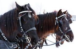 Équipe de chevaux canadiens Image stock
