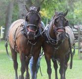 Équipe de chevaux canadiens français Photo stock