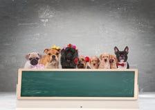 Équipe de chiens mignons derrière de grand tableau noir vide Photographie stock