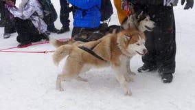 Équipe de chiens de traîneau enroués banque de vidéos