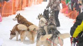 Équipe de chiens de traîneau enroués clips vidéos