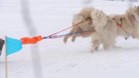 Équipe de chiens de traîneau enroués avec le chien-conducteur clips vidéos