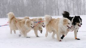 Équipe de chiens de traîneau enroués avec le chien-conducteur banque de vidéos