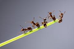Équipe de fourmis Photographie stock libre de droits