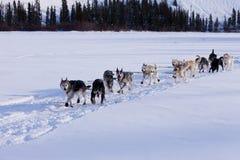 Équipe de luge tirée par des chiens de chiens de traîneau sibériens mushing  images stock