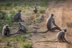 Équipe de singes sur la route Photo stock