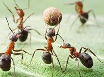 Équipe de sport des fourmis jouant au football Photographie stock libre de droits