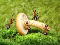 Équipe de travail de fourmis avec le champignon de couche, travail d'équipe Images stock