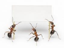 Équipe des fourmis retenant le blanc, le message ou le panneau-réclame Photographie stock libre de droits